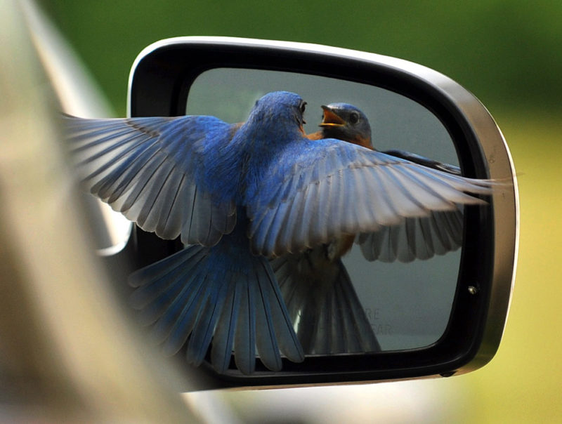bluebird car mirror