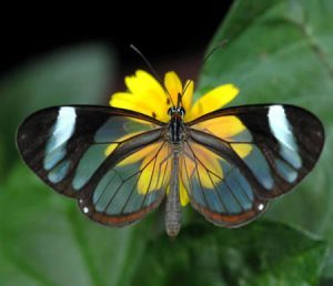 Please Welcome Guest Blogger…Nancy McAllister and the Amazing Greta Oto Butterfly!